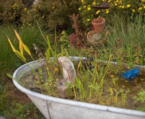 Zinkbadewanne mit Pfeilkraut bepflanzt