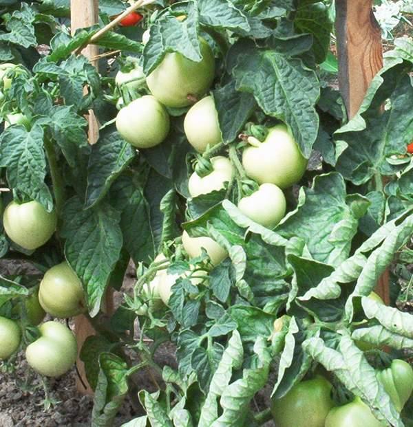 tomaten standort tomaten auf dem balkon pflanzen tipps. Black Bedroom Furniture Sets. Home Design Ideas