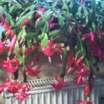 Weihnachtskaktus in der Blüte