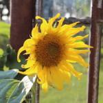 Sonnenblume am Eisenfenster