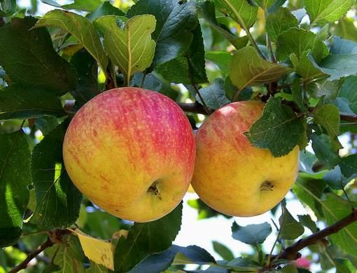 2 Äpfel by_Rolf-Handke_pixelio.de
