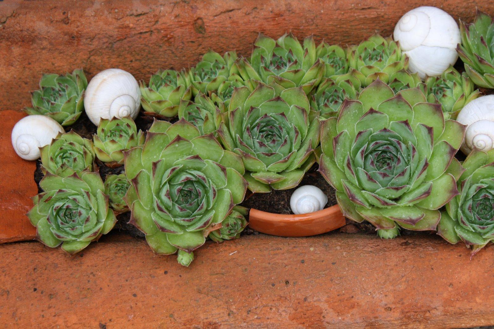 Alter Mauerziegel bepflanzt mit Sukkulenten