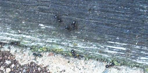 Holzzerstörende Ameise