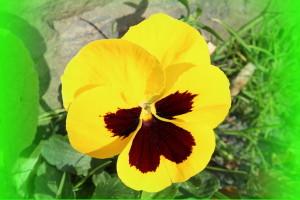 veilchen-gelb