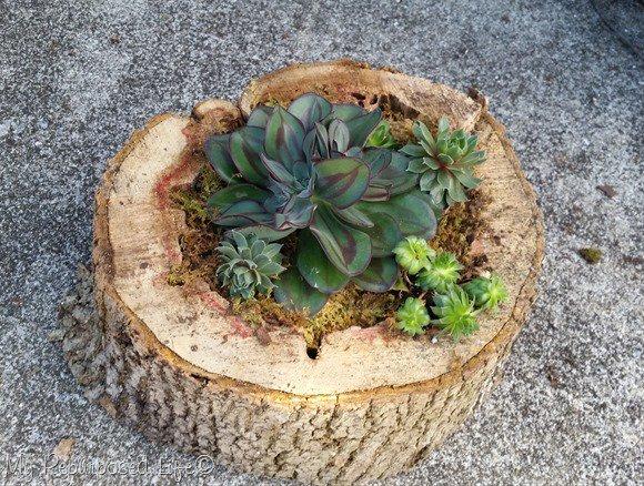 Succulenten in einer Holzscheibe
