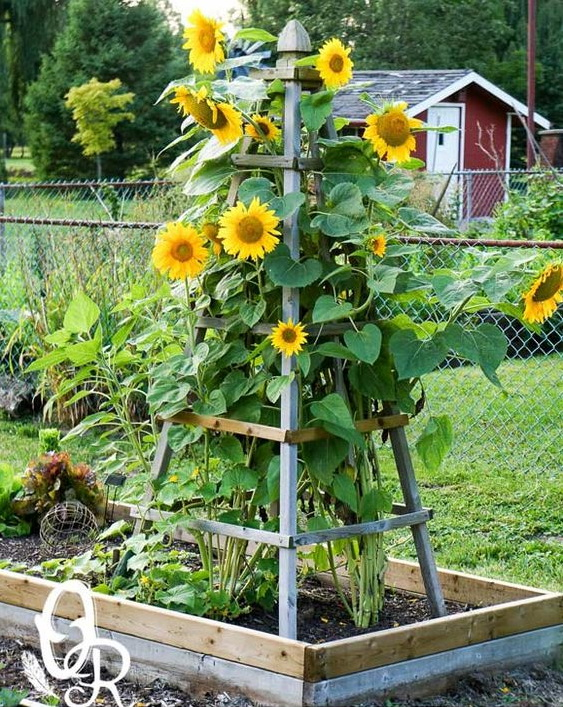 Ein Holz-Obelisk gibt den Sonnenblumen halt.