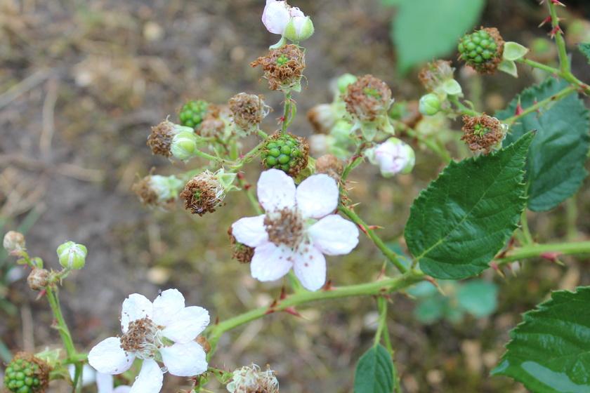Erst sitzen bei der wilden Brombeere in der Blütenmitte Staubfäden, nach dem Insektenbesuch bilden sich traubenähnliche Früchte