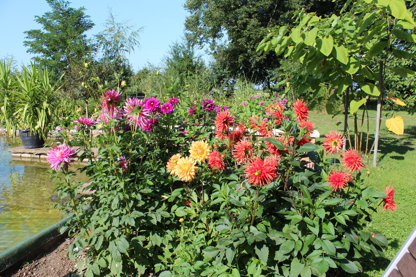 Dahlien im Garten