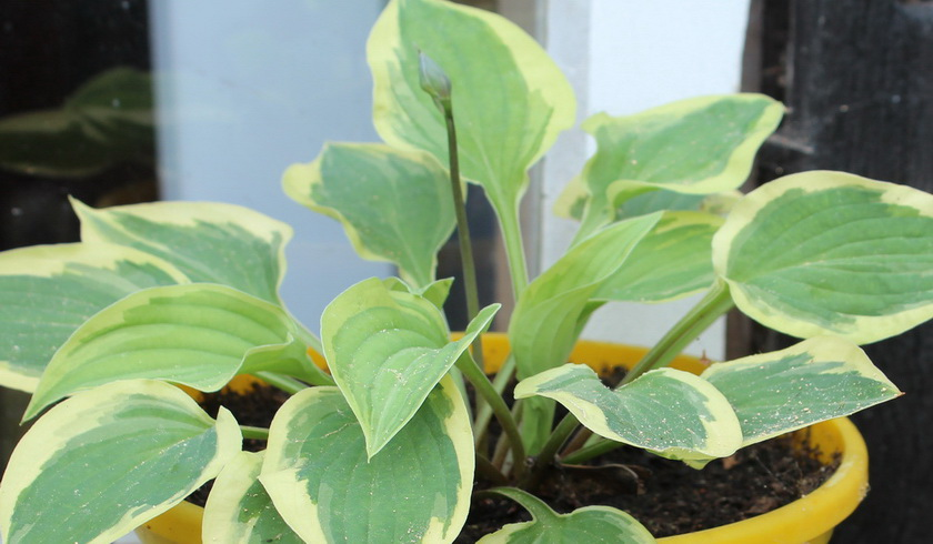 Hosta Jungpflanze